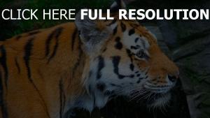 getupft raub maulkorb tiger