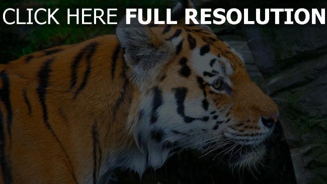 hd hintergrundbilder getupft raub maulkorb tiger