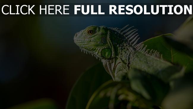 hd hintergrundbilder laub reptil farbe eidechse