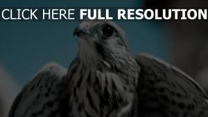 schnabel vogel fleischfresser adler