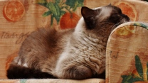 entspannung katze liegen britisch