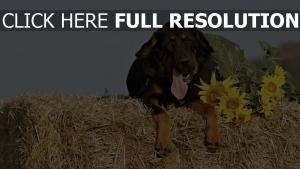 heu schäferhund schnauze hund sonnenblumen