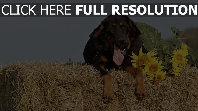 hd hintergrundbilder heu schäferhund schnauze hund sonnenblumen