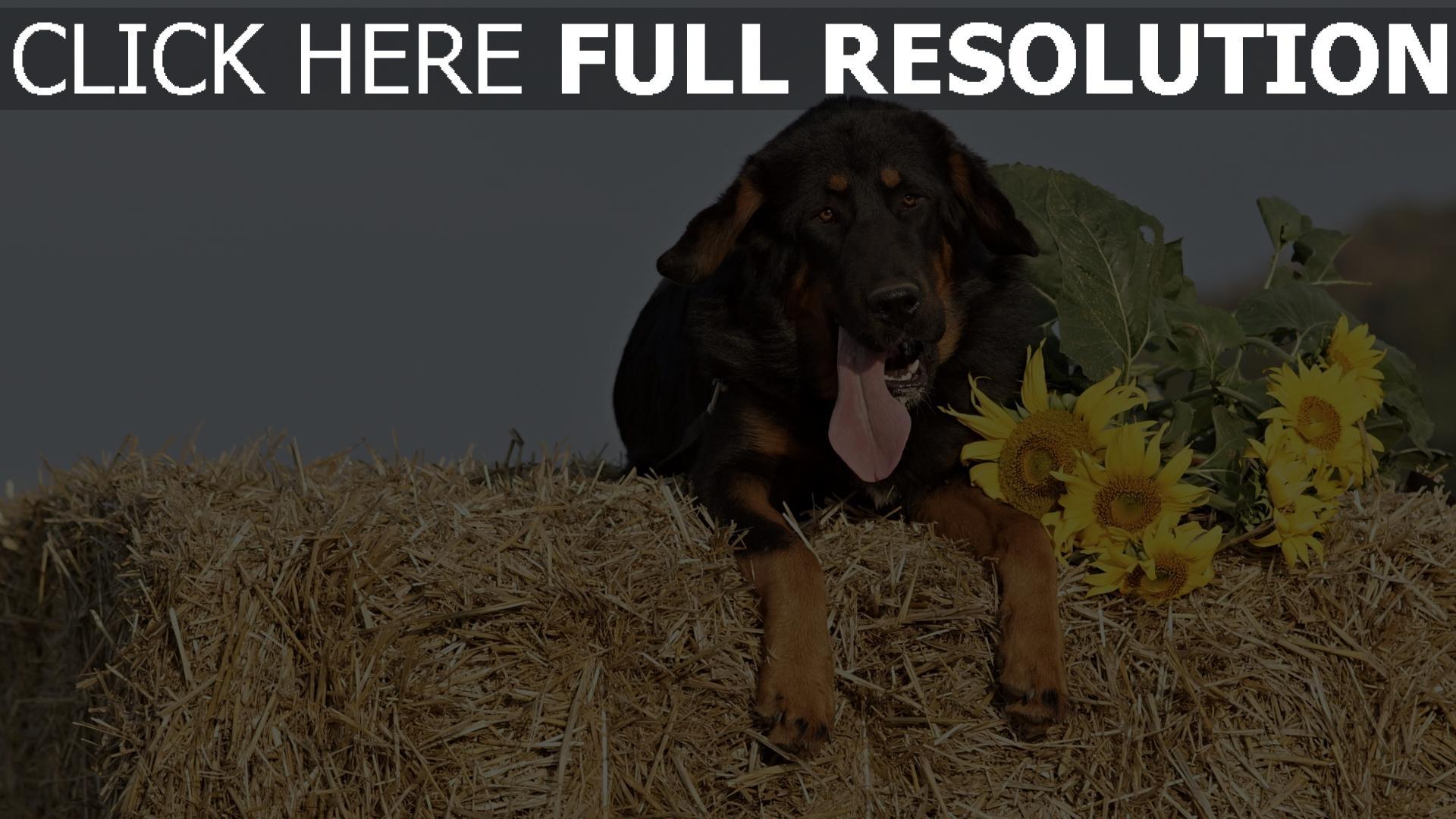 hd hintergrundbilder heu schäferhund schnauze hund sonnenblumen 1920x1080