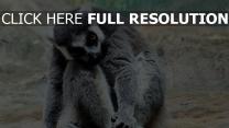 sitzen tier gestreift lemur