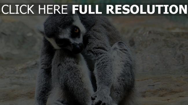 hd hintergrundbilder sitzen tier gestreift lemur