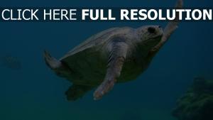 unterwasser schwimmen meeresschildkröte