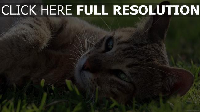 hd hintergrundbilder gras maulkorb lügen katze ruhe