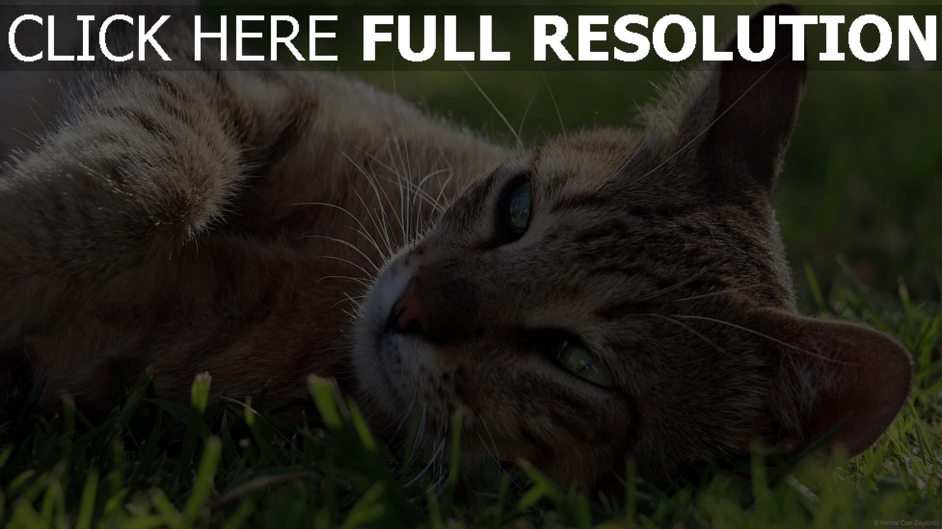 hd hintergrundbilder gras maulkorb lügen katze ruhe 1920x1080