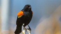vogel farbe rot geflügelte amsel