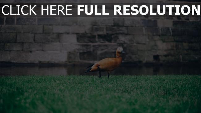 hd hintergrundbilder wand gras vogel ente