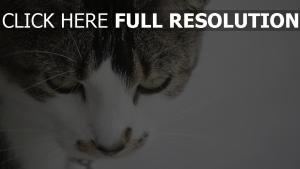 nahaufnahme gesicht gefleckte katze