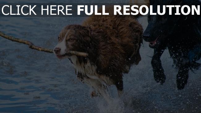 hd hintergrundbilder spray stick laufen hund verspielt
