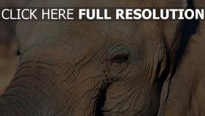 gesicht auge elefant