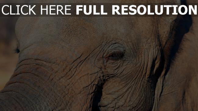 hd hintergrundbilder gesicht auge elefant