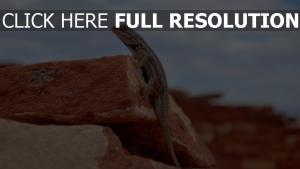 felsen echsen reptilien gecko