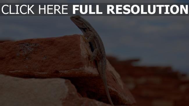 hd hintergrundbilder felsen echsen reptilien gecko